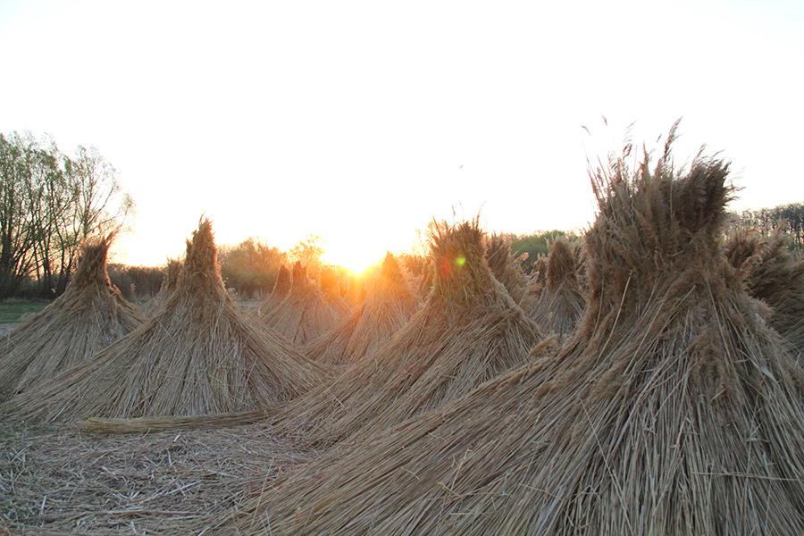 Reedmax Schilfkegel bei Sonnenaufgang