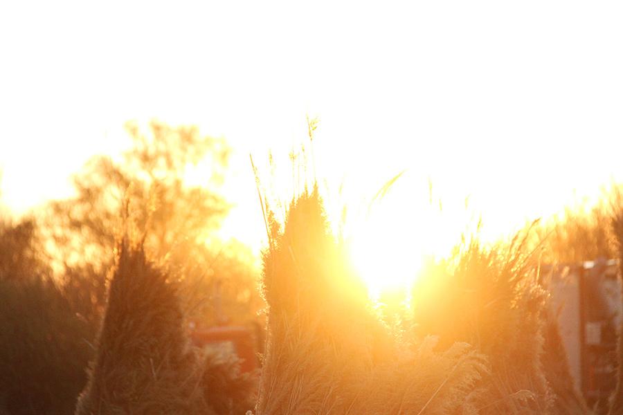 Reedmax Schilf bei Sonnenaufgang